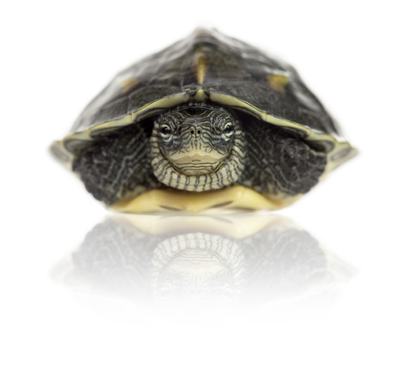 Tortoise in shell